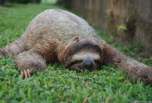Sloth sleeping on grass