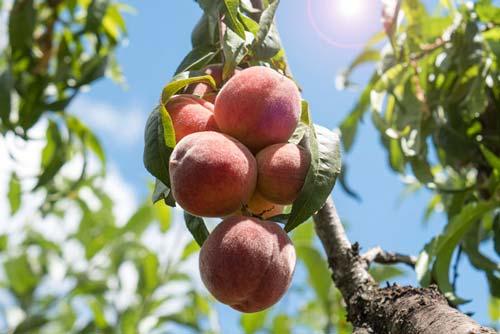 Sunshine-and-peaches