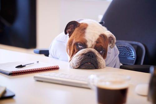 British Bulldog Dressed As Businessman Looking Sad At Desk