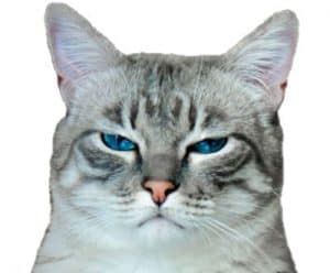 Cat with an angry look on its face
