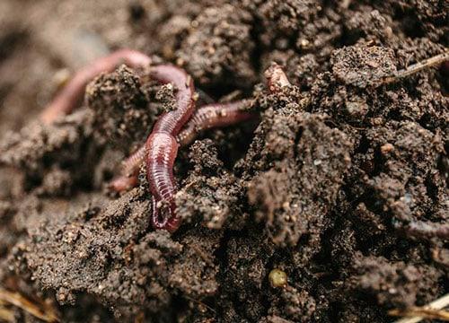 organic earthworms