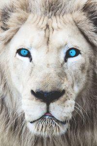 white lion blue eyes