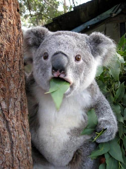 surprised koala with leaf in mouth