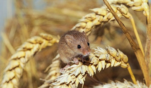 mouse in field