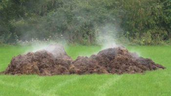 fresh manure